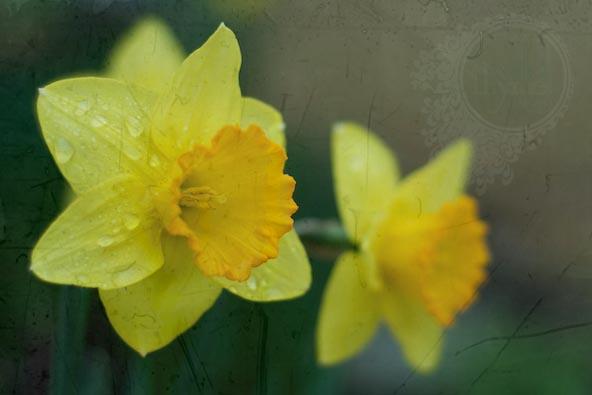 Daffodil in rain 2010