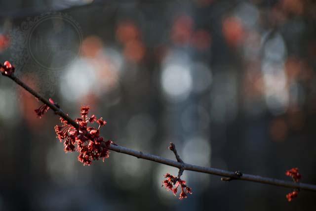 blossoms w bokeh