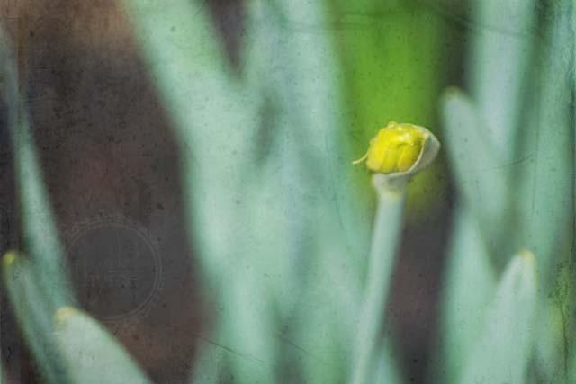 daffodil blossom texture